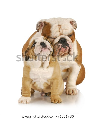 father and son dogs - two english bulldogs sitting on white background