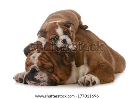 father's day - father and son bulldogs isolated on white background - 8 weeks old - stock photo