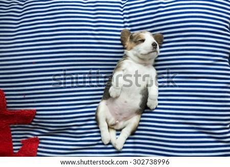 Fatty Puppy Beagle's daydreaming at the afternoon time with the super comfy pose - stock photo