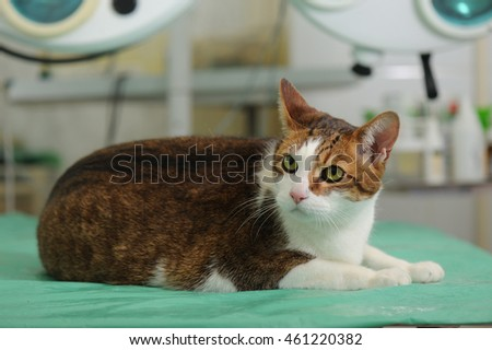Fatty spotted cat in animal hospital