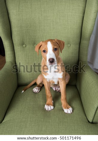 Fawn Colored Pit Bull Mix Puppy Green Upholstered Arm Chair