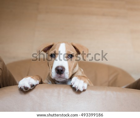 Fawn Colored Pit Bull Mix Puppy on Tan Leather Arm Chair