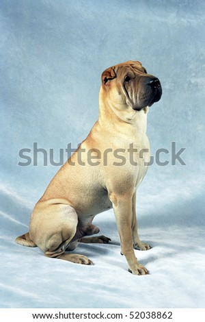 Fawn-colored Sharpei sitting in front of a plush blue background. - stock photo