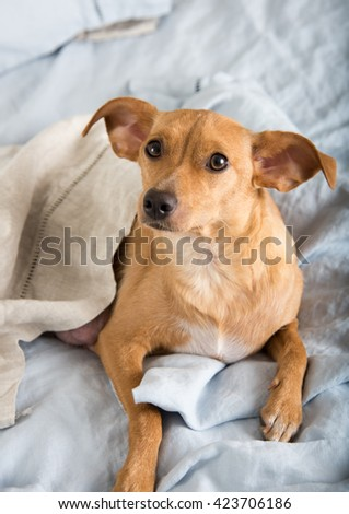 Fawn Colored Terrier Mix Dog Relaxing on Linen Sheets