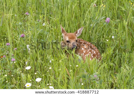 Fawn Curled up in Wildflowers with its Spots Showing - stock photo