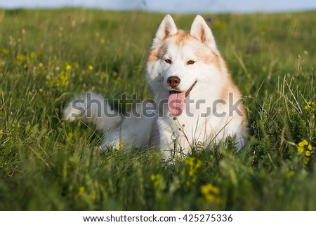 Fawn husky lying on a green meadow - stock photo