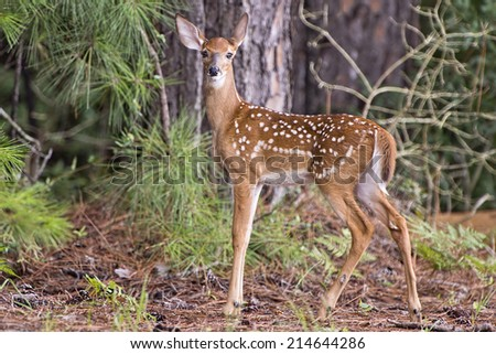 Fawn in Alert Stance - stock photo