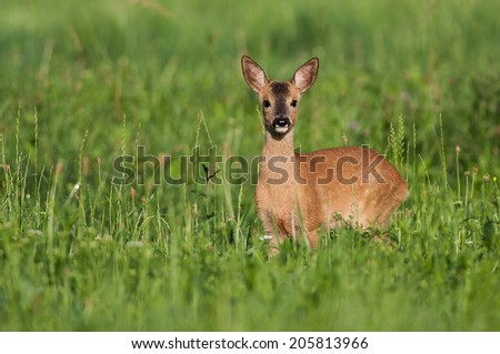 Fawn in the field - stock photo