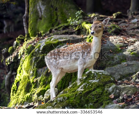 Fawn in the woods close to a rocky formation - stock photo