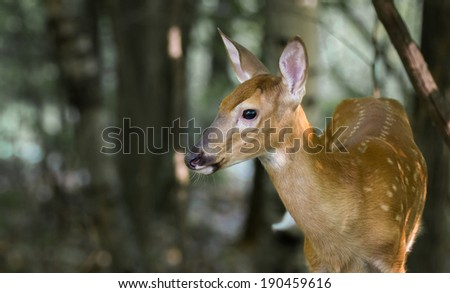 Fawn in Woods - spotted whitetail fawn on alert in the woods.  Copy space on left. - stock photo
