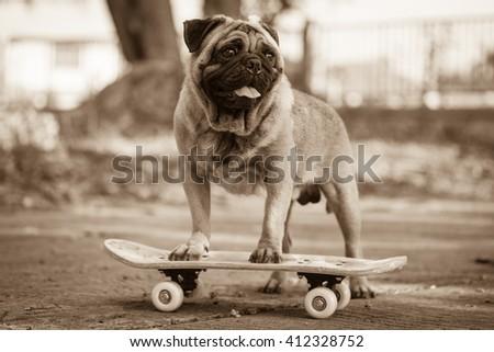 Fawn pug dog playing skateboard on road. - stock photo