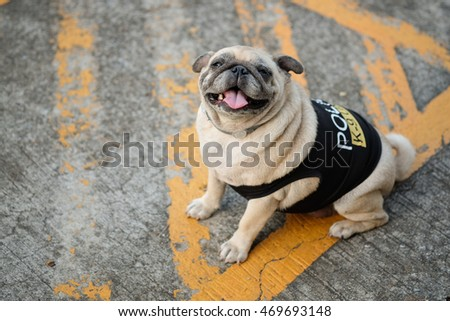 Fawn pug dog wearing police k-9 unit costume on concrete road. & Fawn Pug Dog Wearing Police K 9 Stock Photo (Royalty Free) 469693148 ...