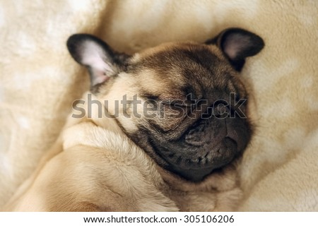Fawn pug sleeping, portrait  - stock photo