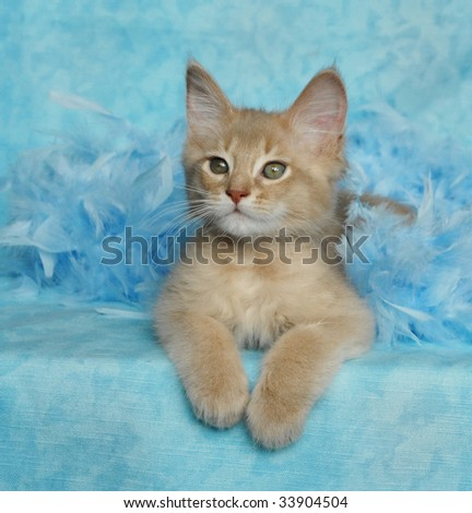 fawn somali kitten in blue feathers - stock photo