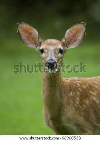 fawn whitetail deer seen in a grassy field on an overcast day