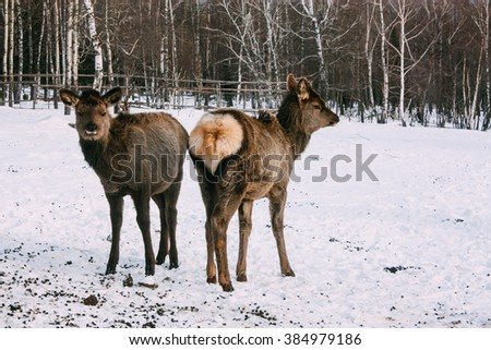 Fawns, young red brown deer in winter - stock photo