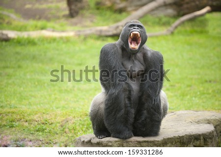 Fearsome large silverback gorilla showing its teeth. - stock photo