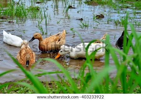 Feasting Duck in rice field - stock photo
