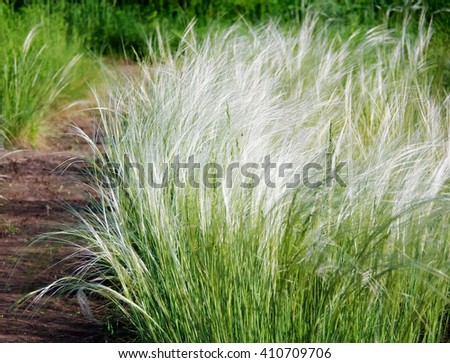 Feather grass found as ornamental plants in the garden design. Stipa or feather grass known as a needle grass. Stipa grow on a grasslands, in steppe or savanna. - stock photo