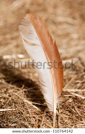Feather in hay - stock photo