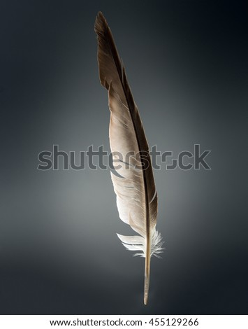 feather on gray background