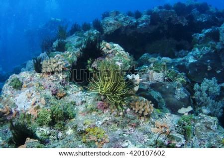 Feather star (Crinoid) _Sea lily - stock photo