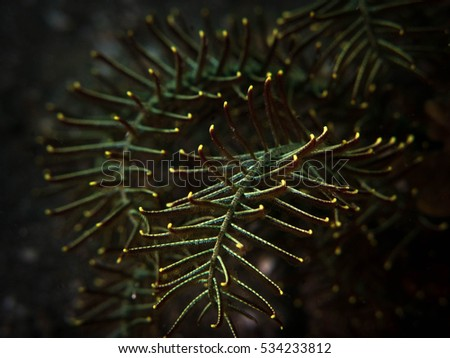 Feather Star In Indonesia