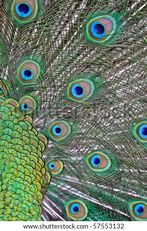 feathers of a peacock - stock photo