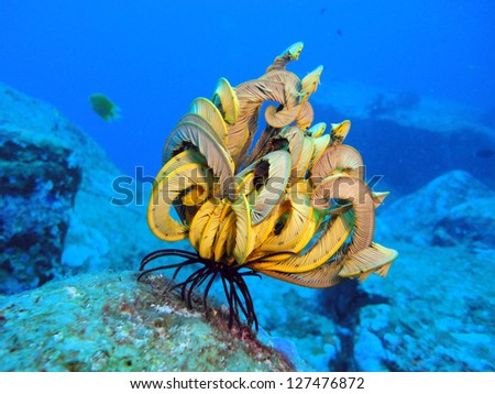 feathertail star at the coral reef - stock photo