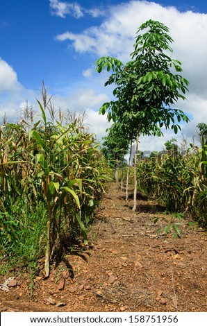 Feed Corn in the field  and rubber plantation in Thailand