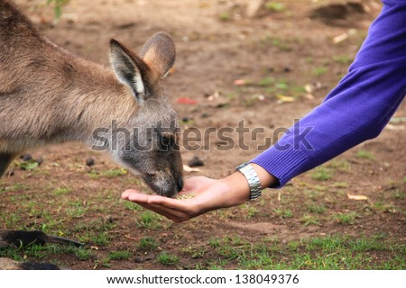 Feeding a kangaroo - stock photo