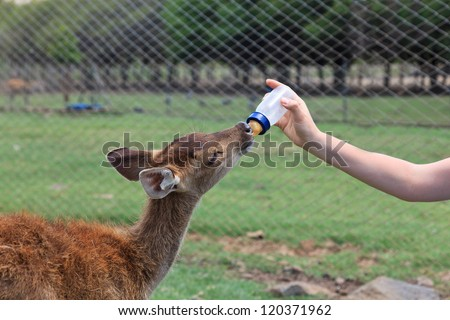 feeding baby goat with milk bottle at farm - stock photo