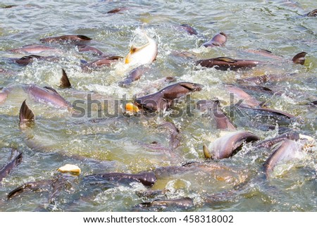 Feeding catfish in tropical river