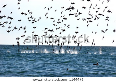 feeding frenzy of sea gulls in various positions before impact on the water - stock photo