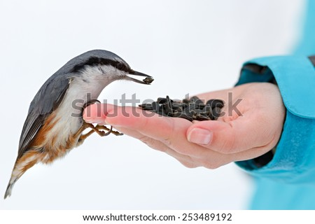 Feeding hungry birds in the winter. Nuthatch takes sunflower seeds from a hand. Sitta europaea - stock photo
