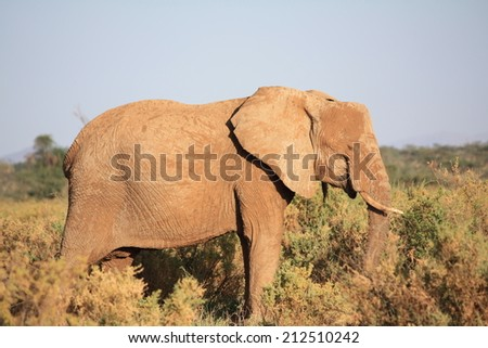Feeding in the mid-afternoon African sun, the African Elephant spreads dirt across his body in an effort to cool off. - stock photo