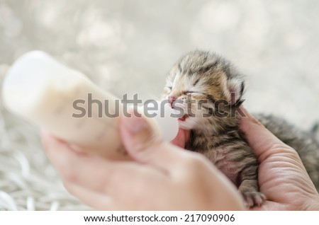 Feeding little tabby cat with milk replacer - stock photo