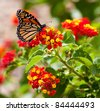 Feeding Monarch Butterfly - stock photo