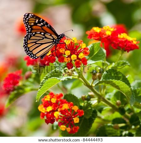 Feeding Monarch Butterfly - stock photo