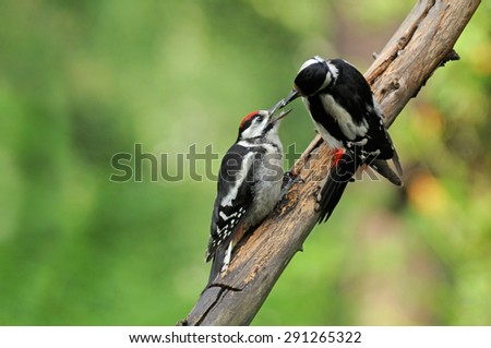 Feeding of Great Spotted Woodpecker chick - stock photo