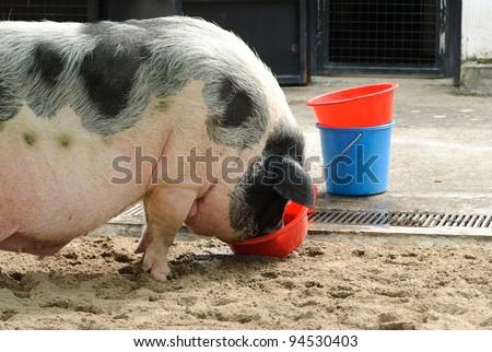 Feeding pig in the farm - stock photo