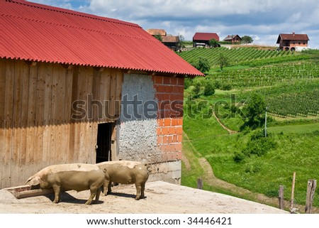 Feeding pig, typical slovenia village scene, with vineyard and little village houses on the hill as background - stock photo
