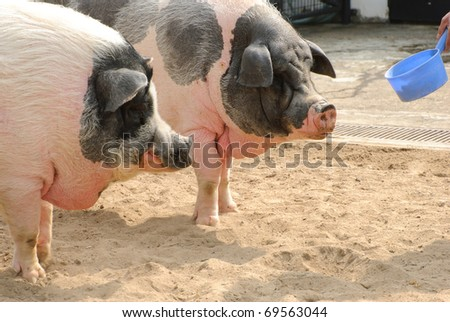 Feeding pigs in the farm in sunny day - stock photo