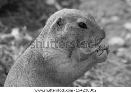 feeding prairie dog - black and white