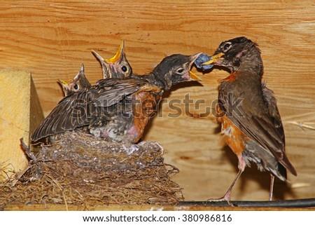 Feeding the baby Robins. - stock photo