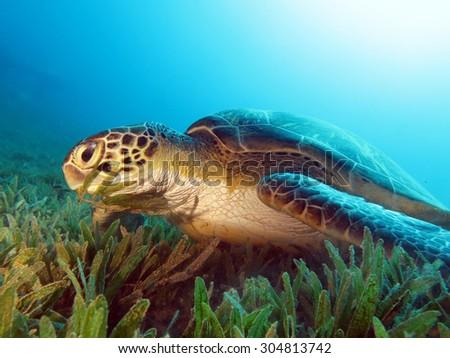 Feeding time for this female green turtle (Chelonia mydas) - stock photo