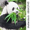 Feeding time. Giant panda eating bamboo leaf - stock photo