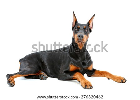 Feeling proud. Doberman pinscher lying with important look on isolated white background. - stock photo