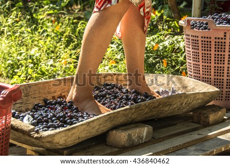 feet to crush grapes,old-fashioned grape crush,gathered the grapes, and make wine