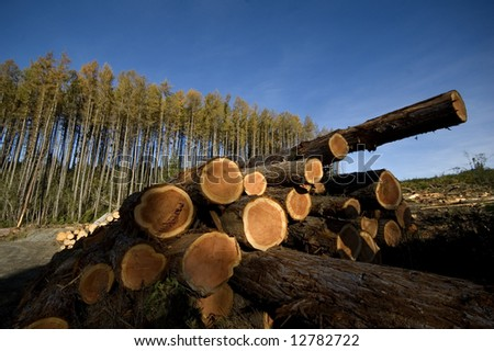 Felled pine logs stacked in a pile with intact forest in the background